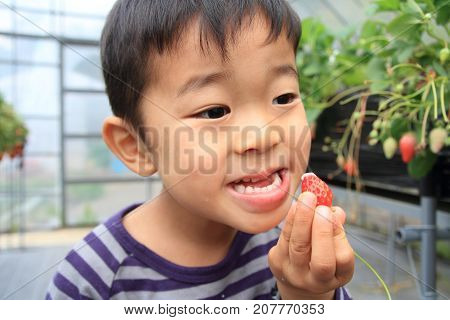 Japanese Boy Picking Strawberry (4 Years Old)