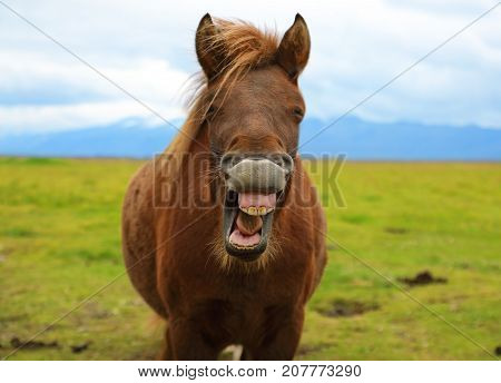 The funny grinning horse on the background of nature landscape of Iceland