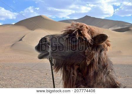 The detail of the camel´s head with the sand dunes and blue sky with white clouds on the background.