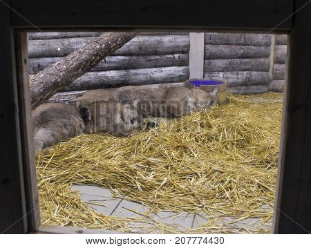Yalta, Crimea - 11 July, Sleeping in an aviary puma, 11 July, 2017. Zoo and animals on the territory of the hotel Yalta Intourist.