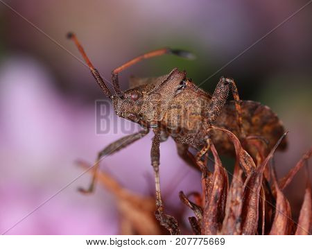 Brown dock bug in decayed flower macro close-up