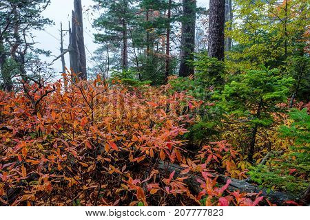 Fantasy landscape of the mysterious foggy autumn forest and red shrubs in front