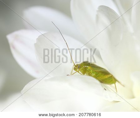 Green cimicid bug in white flower macro close-upt