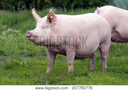 Beautiful Young Sow Pig Posing On Summer Pasture