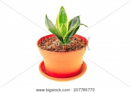 Young Sansevieria In Orange Pot