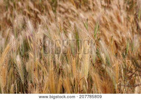 A Yellow wet grass in a field