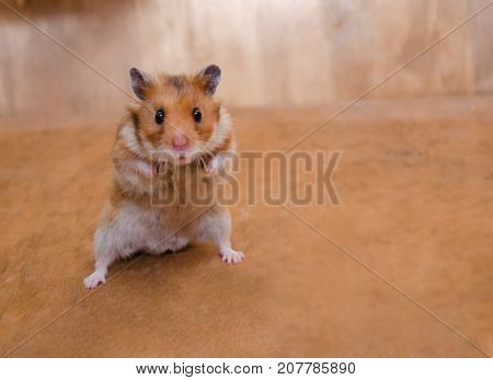 Scared funny Syrian hamster standing on its hind legs as if getting ready to fight (on a wooden background) selective focus on the hamster eyes