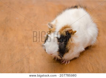 Cute white and brown Abyssinian guinea pig against a wooden background (view from above) copy space on the left