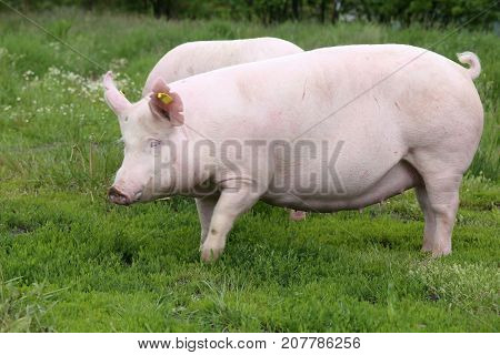 Domestic pig sow posing on fresh green grass meadow