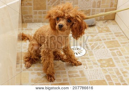 Toy poodle is waiting for washing in the shower during haircuts