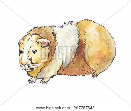 watercolor guinea pig isolated on white hand drawn illustration