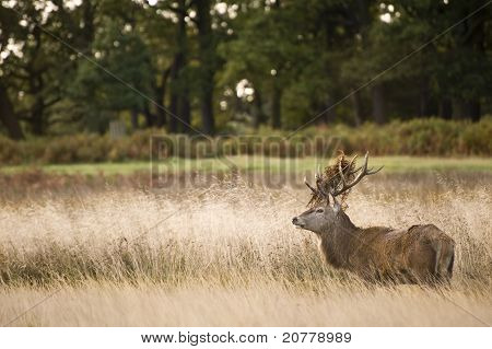 Red Deer Stag in Fall forest landscape