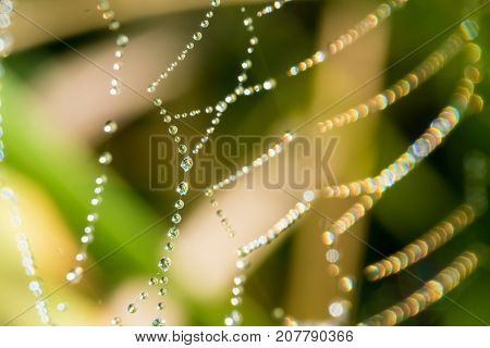 Spider Web With Many Drops Of Water