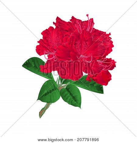 Flowers red rhododendrons twig shrub on a white background vintage vector illustration editable hand draw