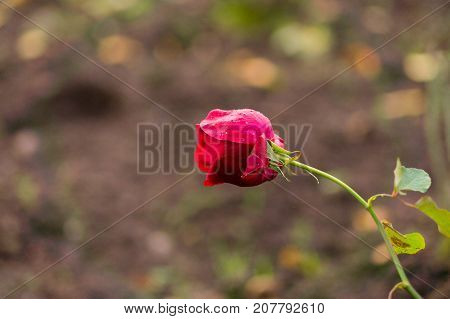 Close-up of a beautiful blooming Red Rose in the Morning. View on a purple Rose with Raindrops. Garden Flowers. Blooming Flowers