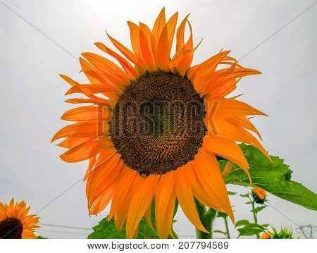 Rural Scene - Sunflower close up in Italy