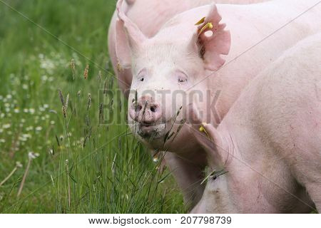 Head shot of young sow pigs on green grass meadow outdoors