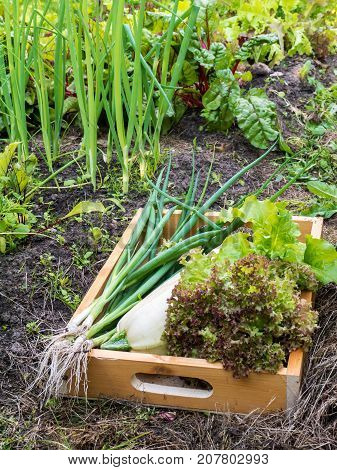 Zucchini Lollo rosso lettuce salad and green onion in the organic vegetable garden. Vegetable beds. White marrow squash lettuce head and green scallion in the wooden box.