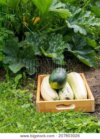 Harvesting zucchini in the organic vegetable garden. Green and white marrow squash in the wooden box. Flowering zucchini plants.