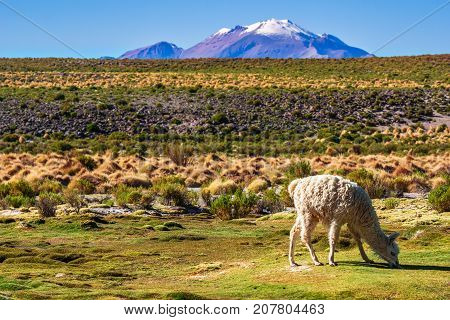 View on Llama in the mountain landscape of the Altiplano in Bolivia