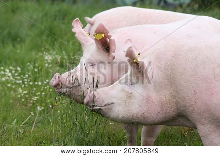 Side view closeup photo of pink colored young sow on the meadow