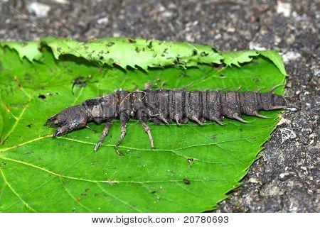 Hellgrammite - Dobsonfly Larvae