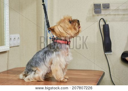 York terrier side view. Small dog sitting on table. Dog breed originating from England.