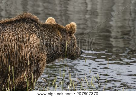 Bear Fishing By The Water