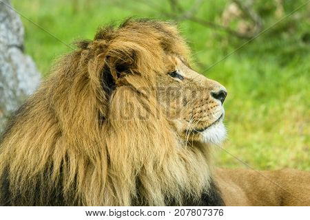 Male Lion With A Large Mane Lying On A Field