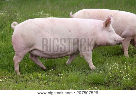Side view photo of pink colored young sow on the meadow