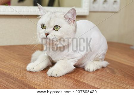 British shorthair cat, close up. Cat with big green eyes.