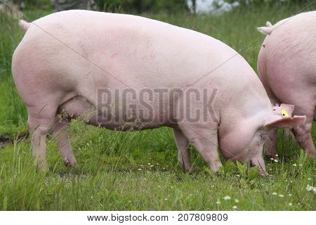 Mighty sow pig pose on summer meadow