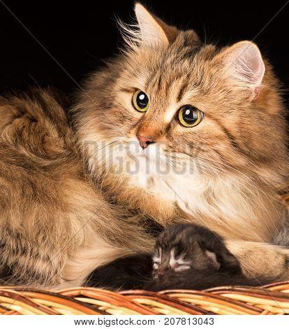 Lovely siberian cat with little kitten in the wicker basket over black background