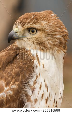 Upper Body Side View of Red Railed Hawk in Captivity, Falconry