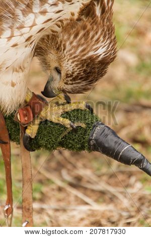Captive Red Railed Hawk looking at its foot, Falconry