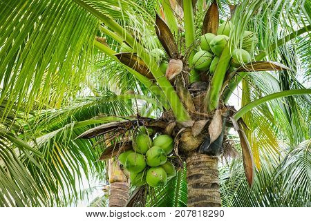 Green coconut tree for background or texture.