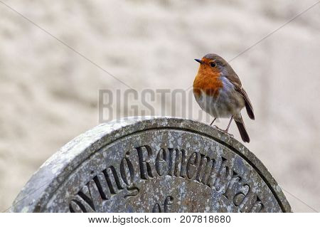 The European robin (Erithacus rubecula) known simply as the robin or robin redbreast perched on a gravestone in a cemetery