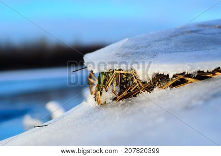 Dry Grass Under The Ice