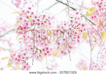 Close-up wild Himalayan Cherry Blossom branch in spring season on mountain in forest as background selective focus
