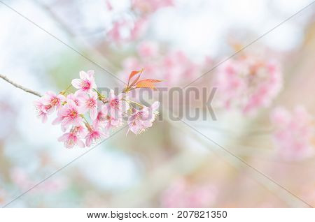 Close-up wild Himalayan Cherry Blossom branch in spring season on mountain in forest selective focus