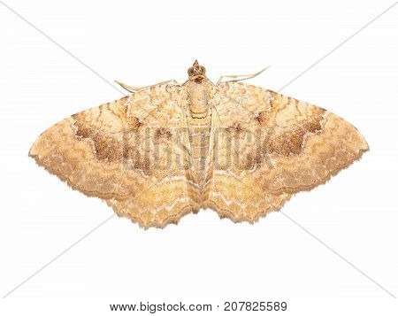 Yellow Shell moth (Camptogramma bilineata) insect animal isolated over white background