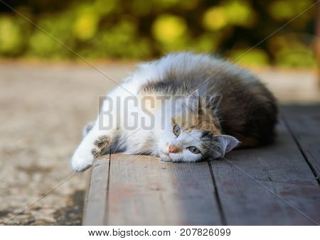 fluffy beautiful cat lies on a wooden porch in the sun