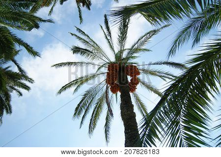Grapes of ripe dates on the top of the date palm. View from the surface of the earth.