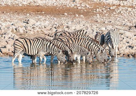A herd of Burchells Zebras (Equus quagga burchellii) drinking water at a waterhole in Northern Namibia