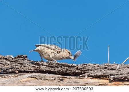 A sociable weaver Philetairus socius with a feather in its beak in Northern Namibia