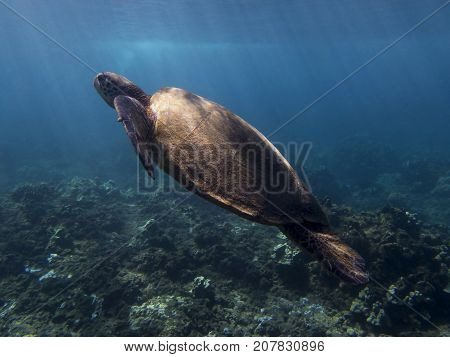 Sea Turtle Swimming Underwater with Rays of Sunlight Beaming onto its Shoulders and Shell