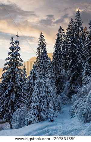 Snowy Spruce Forest At Gorgeous Winter Sunset