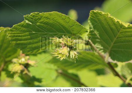 Hazel Corylus avellana Geant de Halle bloom detail of hazelnuts; bush producing big hazelnut or cob-nuts maturation defocused background