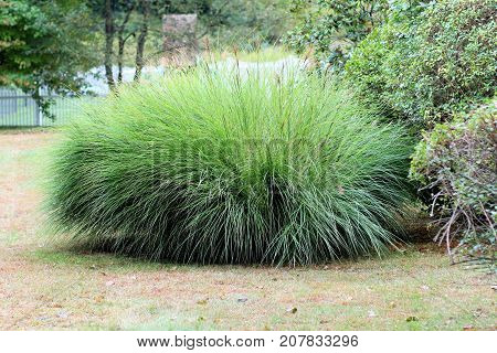 Large green Maiden Grass plant growing in a backyard.