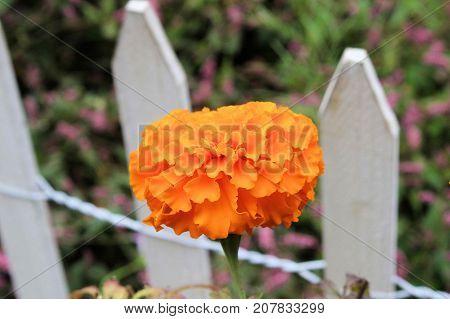 Large orange marigold growing along a small white picket fence.